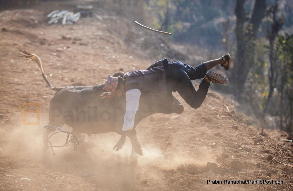 नुवाकोटमा जुधाउन खोजेको गोरुले मान्छे उडाउँदा... हेर्नुस् तारुका मेलाका ३० फोटो