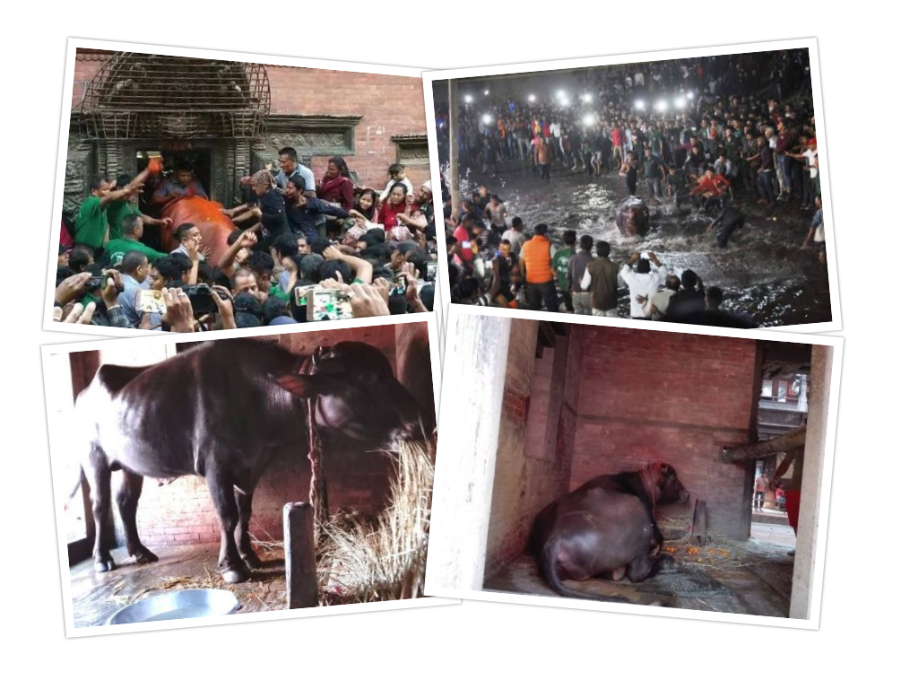 महिषासुररुपी राँगोलाई शहरमा दौडाउँदै वध : भक्तपुरको एउटा फरक जात्रा खम्ये
