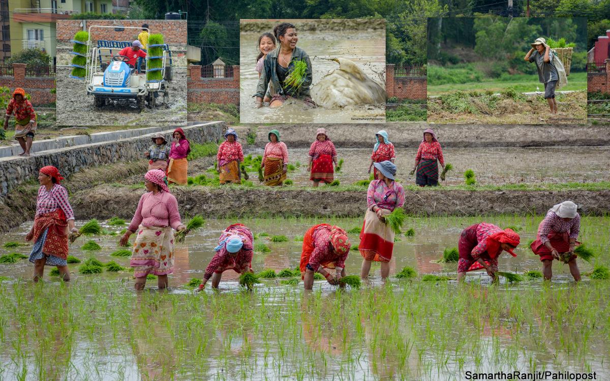 मेसिनसँग किसानको धान रोप्ने प्रतिस्पर्धा : २२ फोटोमा हेर्नुस् खुमलटारमा धान दिवस